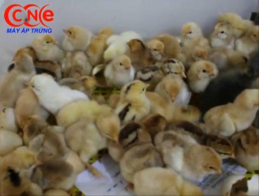 Máy ấp trứng nở tốt 95%