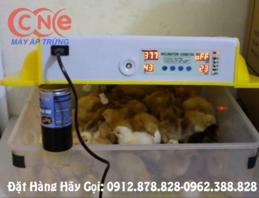 Úm gà tạm thời ngay trong máy ấp trứng