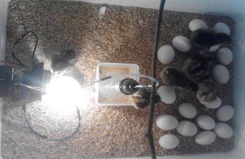 Ấp trứng tạp nhiệt bằng bóng đèn