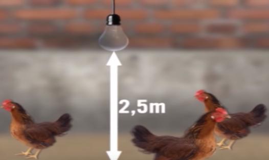 Độ cao của bóng đèn trong chuồng gà