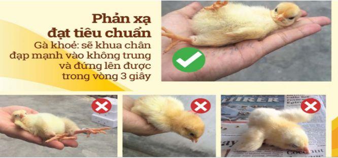chọn gà qua phản xạ