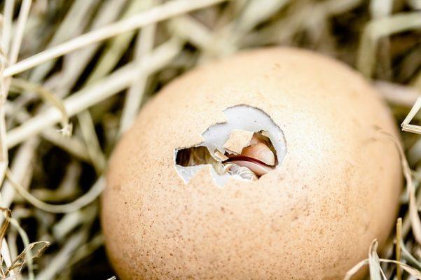 ấp trứng khẻ mỏ không nở