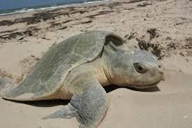 rùa đẻ trứng