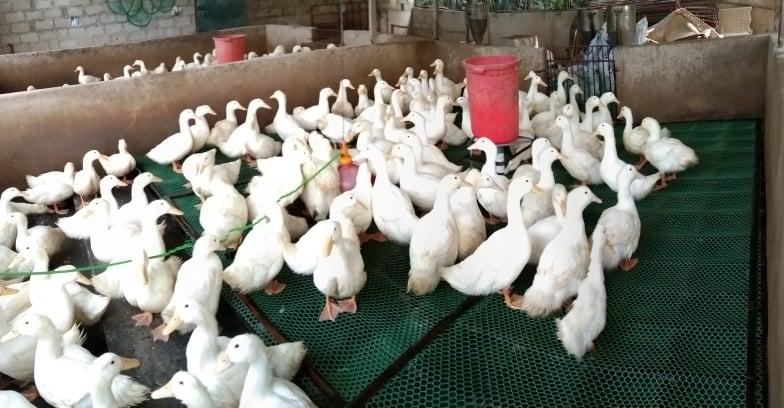 cách làm chuồng sàn nuôi vịt thịt