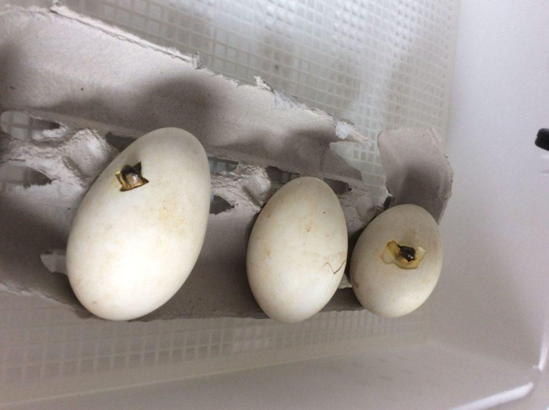 ấp trứng ngỗng