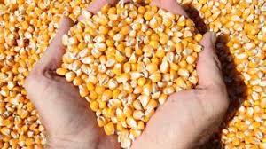 Giá ngũ cốc và hạt CBOT đồng loạt giảm