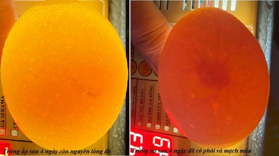 Soi trứng sau 4 ngày ấp để loại bỏ trứng không có phôi
