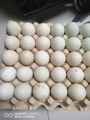 cách ấp trứng vịt tại nhà