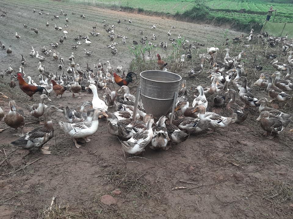 thức ăn cho vịt thả vườn