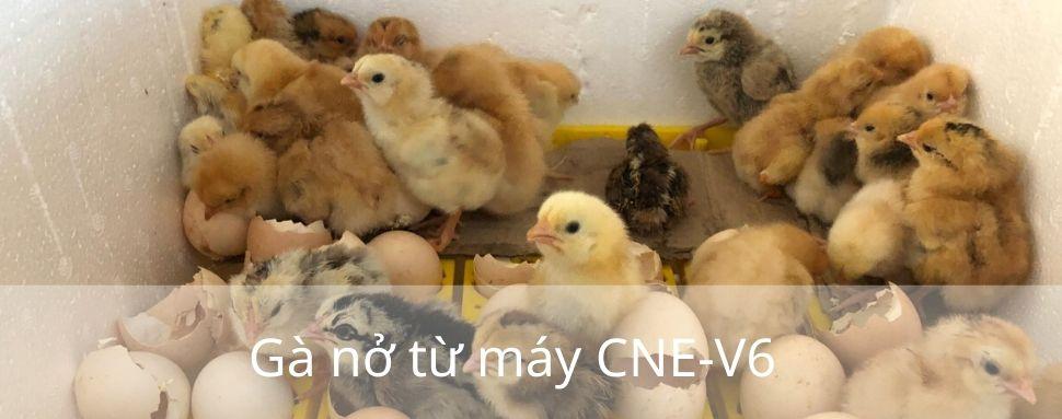 Gà nở từ máy CNE V6 Máy Ấp Trứng CNE