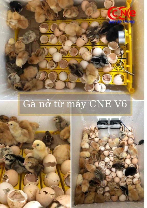 Gà nở từ máy ấp trứng cne v6