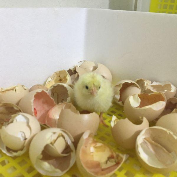 may ap trung cne 6 Máy Ấp Trứng CNE